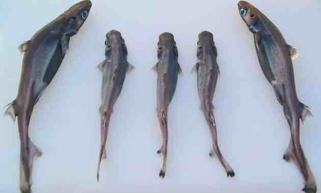 velvet-belly-lanternsharks
