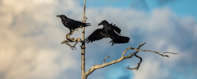 crows-in-tree
